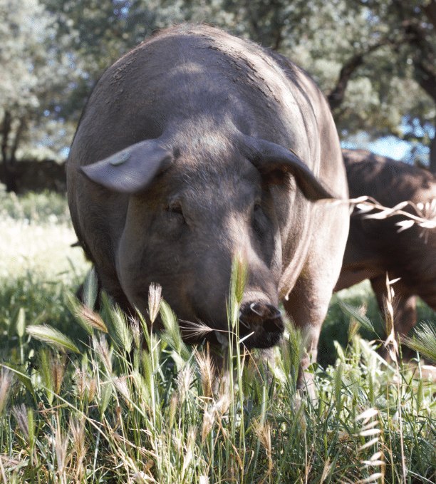 Cerdo ibérico en la Dehesa de Extremadura